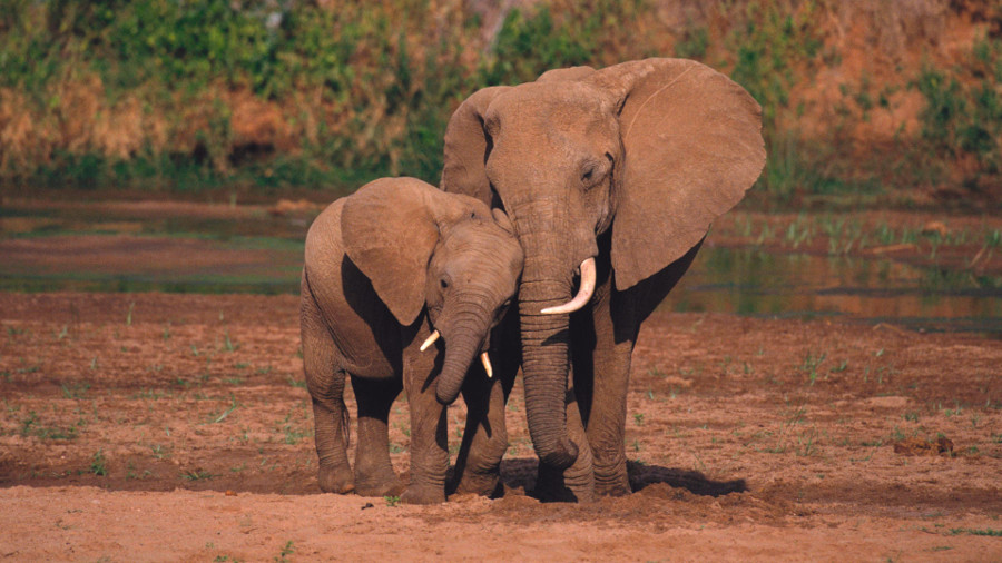 The African Elephant will be extinct in 20 years, according to the study. Image Credit: Mack Hoseley