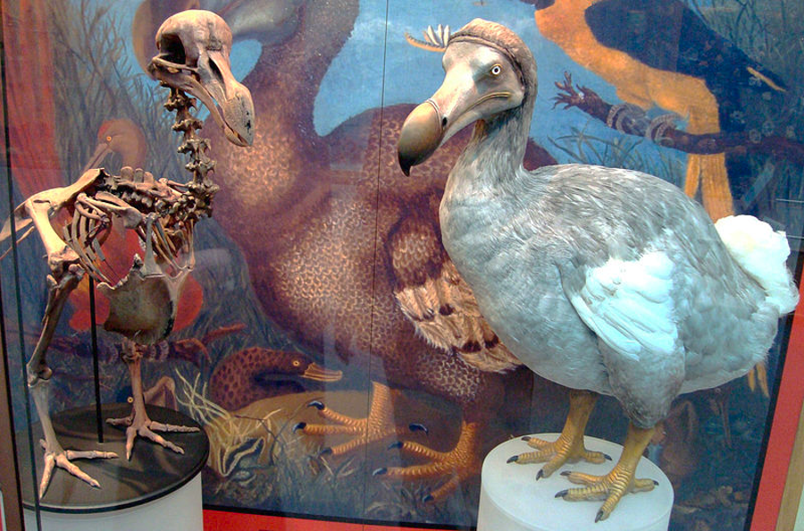 The famous Dodo bird. Image Credit: Oxford University Museum of Natural History / Wikipedia