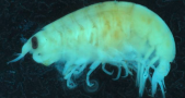 Lysianassid amphipods, a type of scavenging crustacean. Image Credit: Museums Victoria