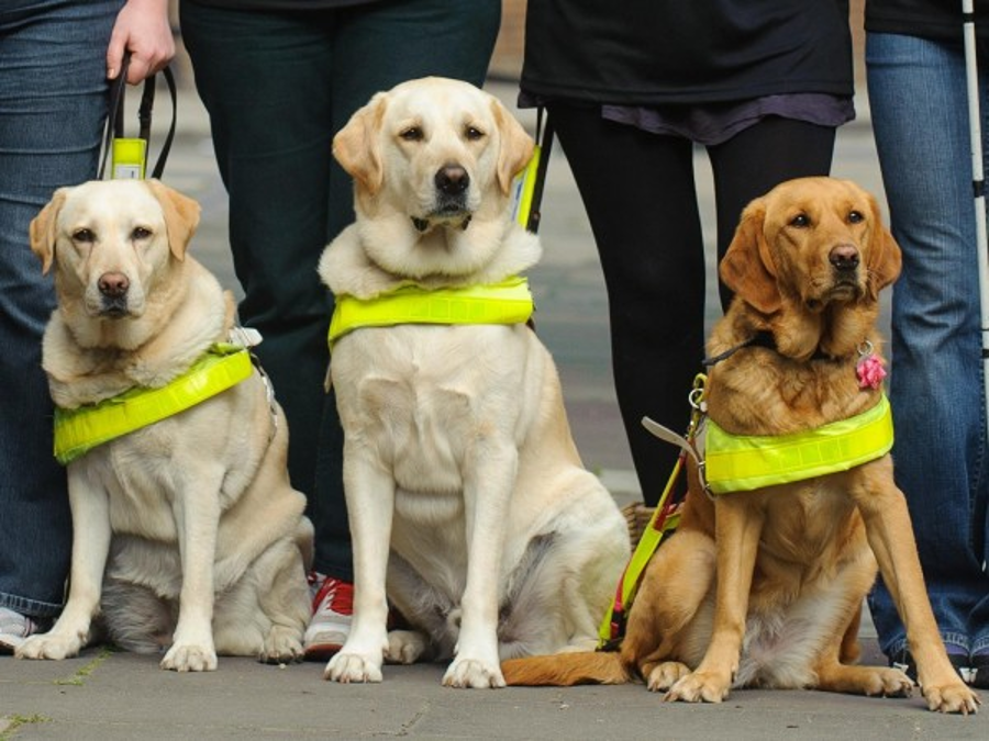Guide dogs ready to help their owners. Image Credit: Dominic Lipinski/PA