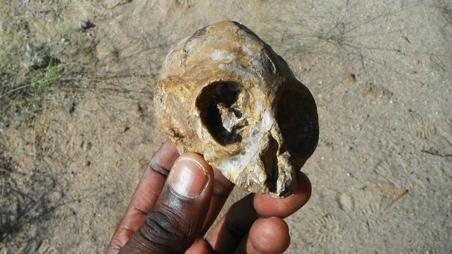 The 13 million-year-old skull found in Turkana basin. Image Credit: Isaiah Nengo