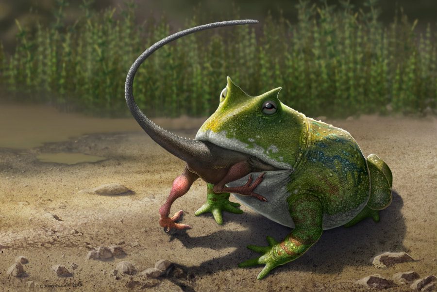 After studying the strength that the smaller, horn-frog of South America has in its bite, the experts concluded that it's a possibility that the Beelzebufo fed on little reptiles. Image credit: How Stuff Works