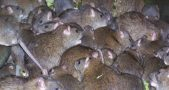 A paraplegic girl was attacked by a mischief of rats while she was sleeping. Image credit: Pest Control Empire