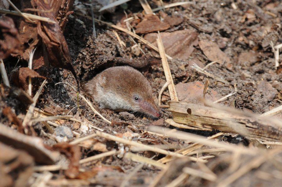 Common shrews skull, Shrew brain re-growth, Common shrew skills