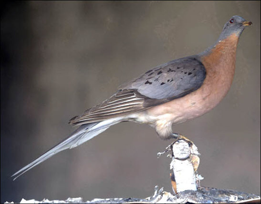 Passenger pigeon, Passenger pigeon extinction, Extinct species, Ectopistes migratorius, Passenger pigeon population