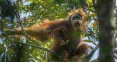 New orangutan species, Orangutans, Orangutan species