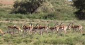 Antelopes, Kazakhstan, Weather, Antelopes die off events, Antelopes extinction and climate change, Antelopes and climate change