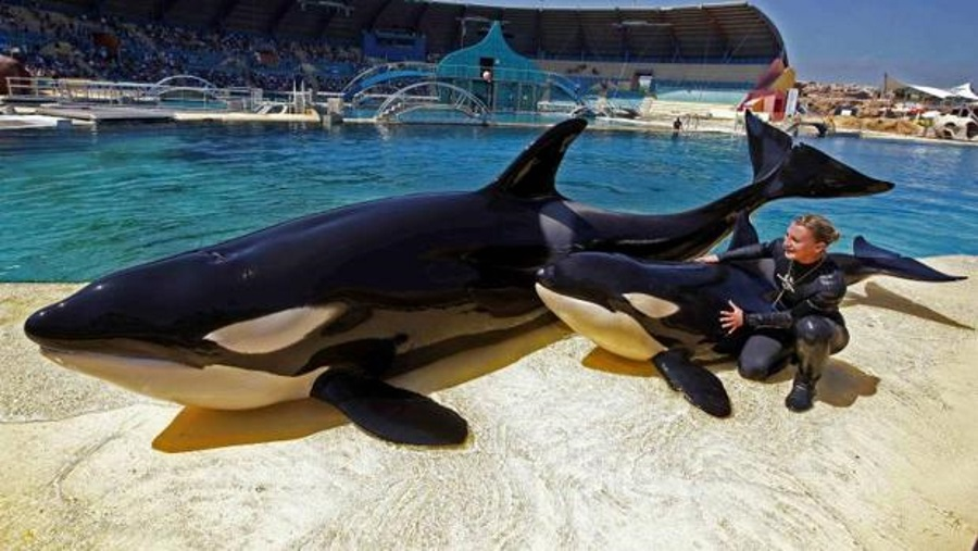 14-year-old killer whale trained to mimic sounds, Killing whales' imitation skills, Wikie the orca