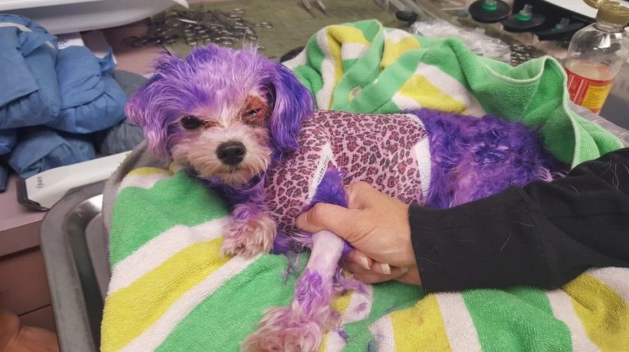 Animal cruelty in Florida, Dog with purple dyed hair, Pinellas County Animal Services rescued dog, Rescued dog in Florida