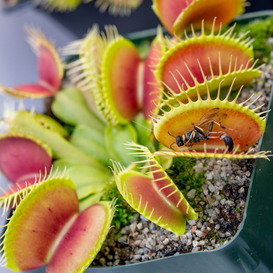 Venus flytraps evolved to avoid trapping their pollinators, Only found in the Carolinas