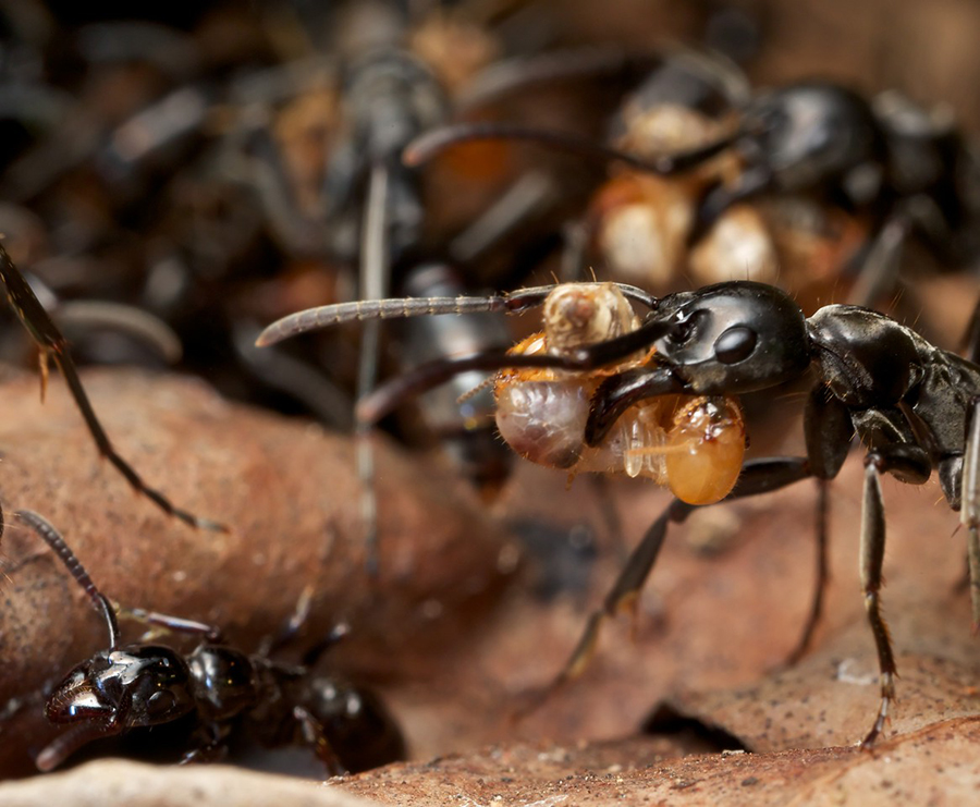 Hunting-animals using their saliva to cure similar, Ants gathering the wounded individuals to treat them