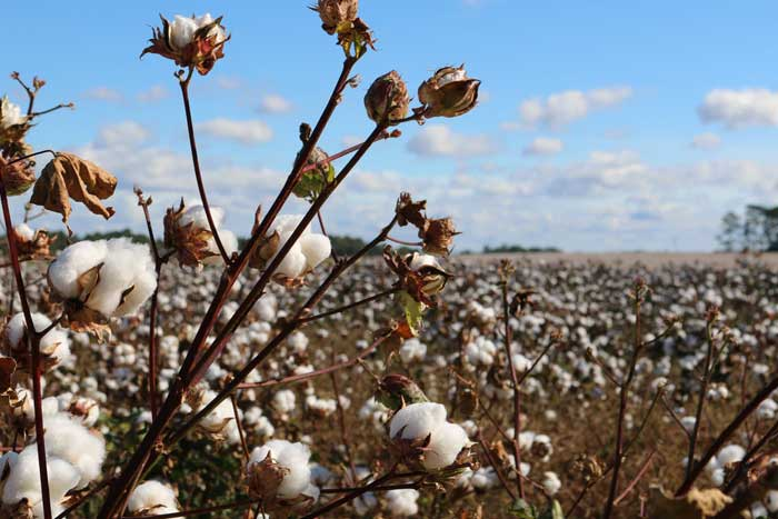 Cotton is Good, but There is Even Better