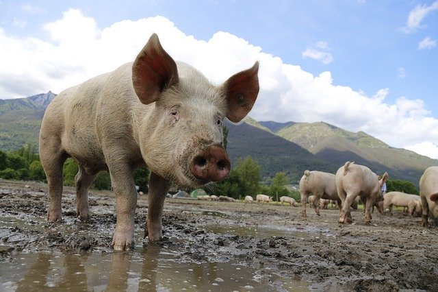 Researchers Find Pigs and Rats Can Breathe Through Their Anuses; Maybe Humans Too